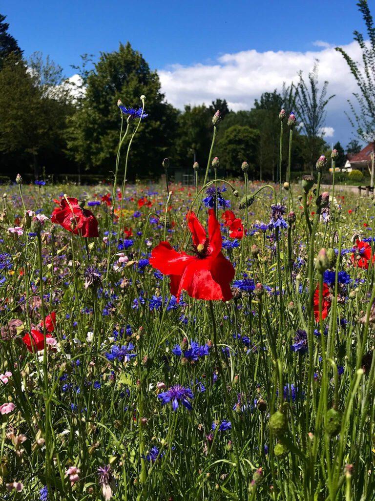 Veld wilde bloemen in Rijswijk. Foto: Pieternelle Maris.