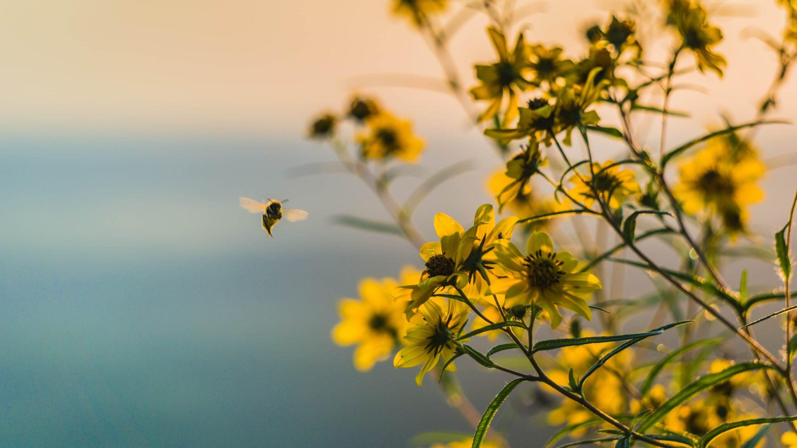 Honingbij bij gele bloemen, bannerfoto