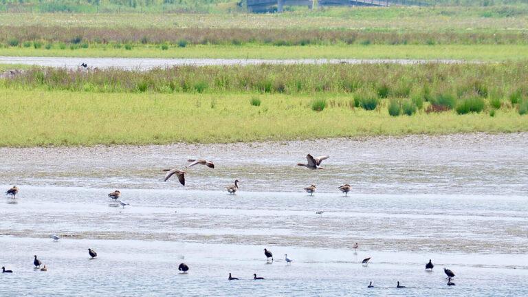 Vogels in de Biesbosch